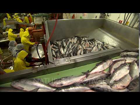 Bristol Bay Fishery Alaska Cannery Workers Sort Salmon While Tons More Salmon Are Moved By Convey...