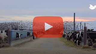 Effect of Agrilaser Autonomic at an Idaho dairy farm with starling problem