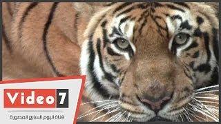 بالفيديو..حارس بحديقة حيوانات الجيزة: النمور المصرية أشرس من الأسود