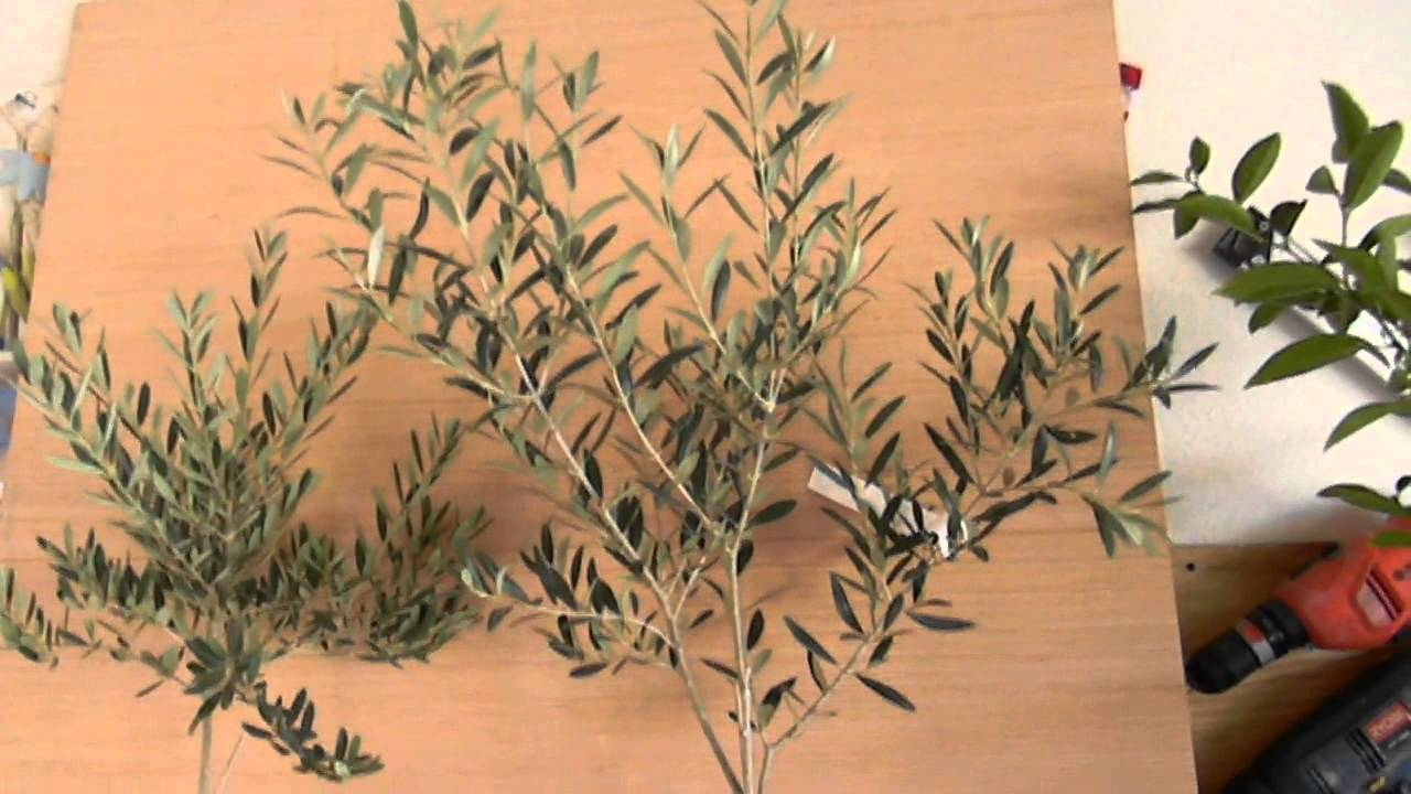Hoji Blanca An Tosca 7 Olive Tree Intro Youtube