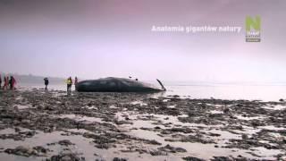 Inside Nature's Giants - Polsat Viasat Nature - promo