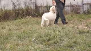 щенок Пиренейская горная собака (ЯКОГОР ШЕРБУР ОКТЕВИЛЬ)