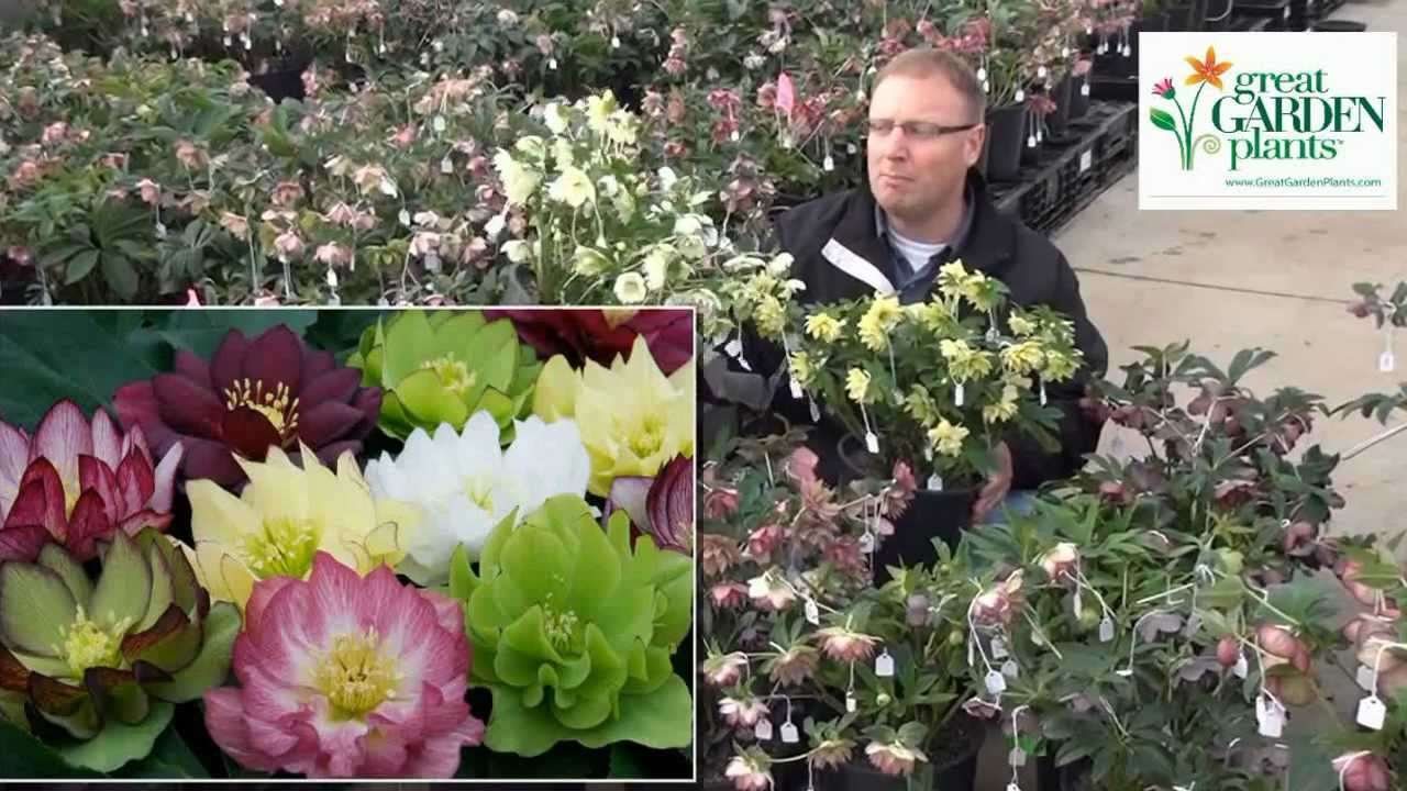 Helleborus Fluffy Ruffles Huge 3 Double Fwrs From Winter Spring