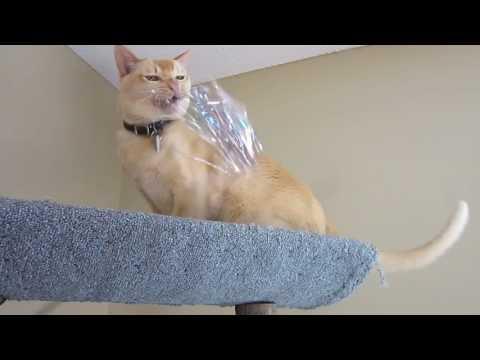 Therapy Cat Van Gogh wild play