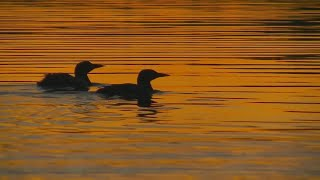 Be On Watch For Loons Infected With West Nile