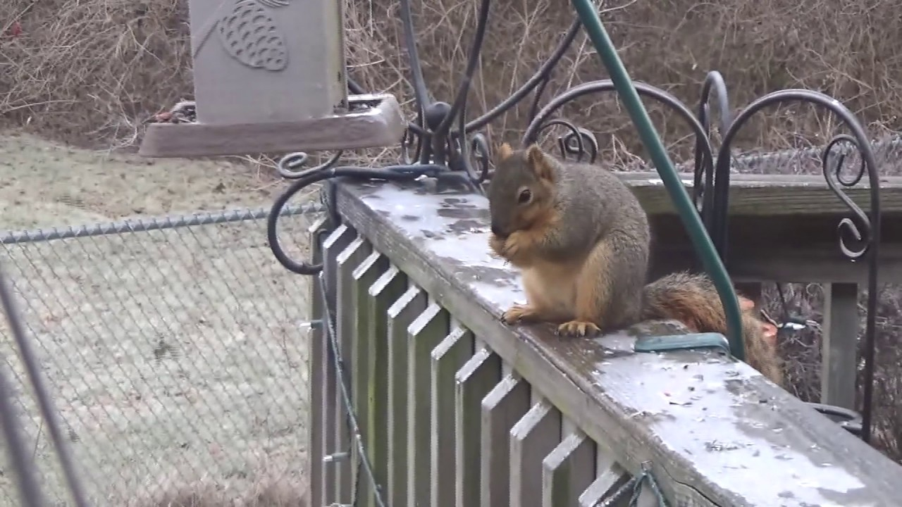 Squirrel On Icy Deck You