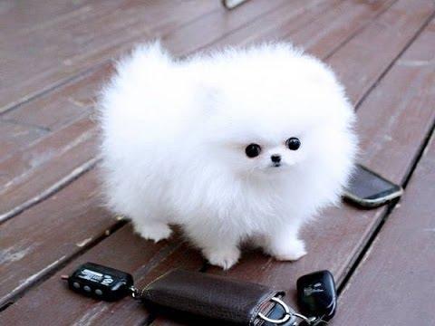 Pomeranian Puppies cute pet pom poms cutiest pomeranians Dwarf ...