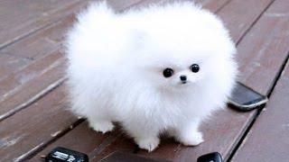 Pomeranian Puppies Cute Pet Pom Poms Cutiest Pomeranians Dwarf Spitz Puppy Compilation Zwergspitz