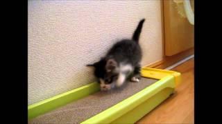 拾ってきた野良猫の初めて爪とぎをお披露目! ただ、上手に爪とぎ出来て...