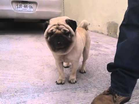 Baby pugs for sale in mexico