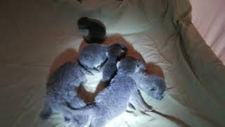 Британские котята родились 18 мая 2019 (Litter-J2)
