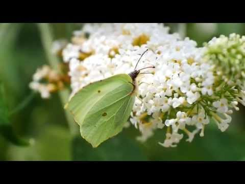 Common Brimstone (Gonepteryx rhamni) on white Butterfly-Bush (Buddleja davidii) [3]