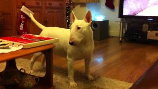 English Bullterrier Protective (kc Only The Strong)