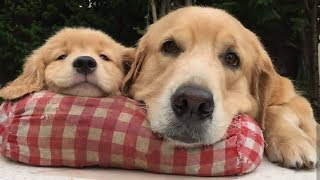 Funniest & Cutest Golden Retriever Puppies Compilation #9 - Funny Puppy Videos 2019