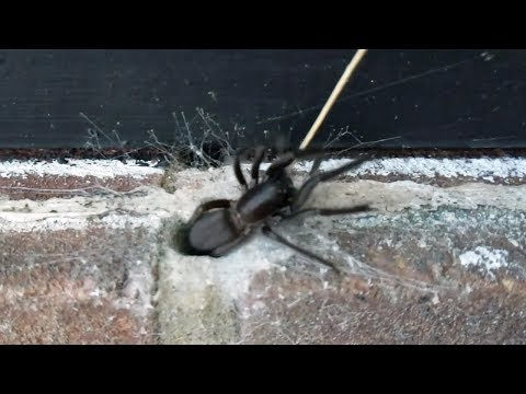 Tube Web Spider Emerges From Hole In The Wall
