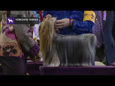 Yorkshire Terriers Part 2 | Breed Judging 2019