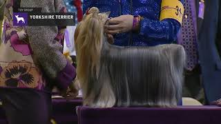 Yorkshire Terriers Part 2   Breed Judging 2019