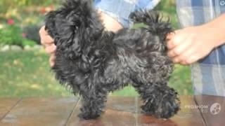 Цветная болонка порода собак