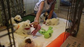 Coton Puppies For Sale - Isabella 8/11/20