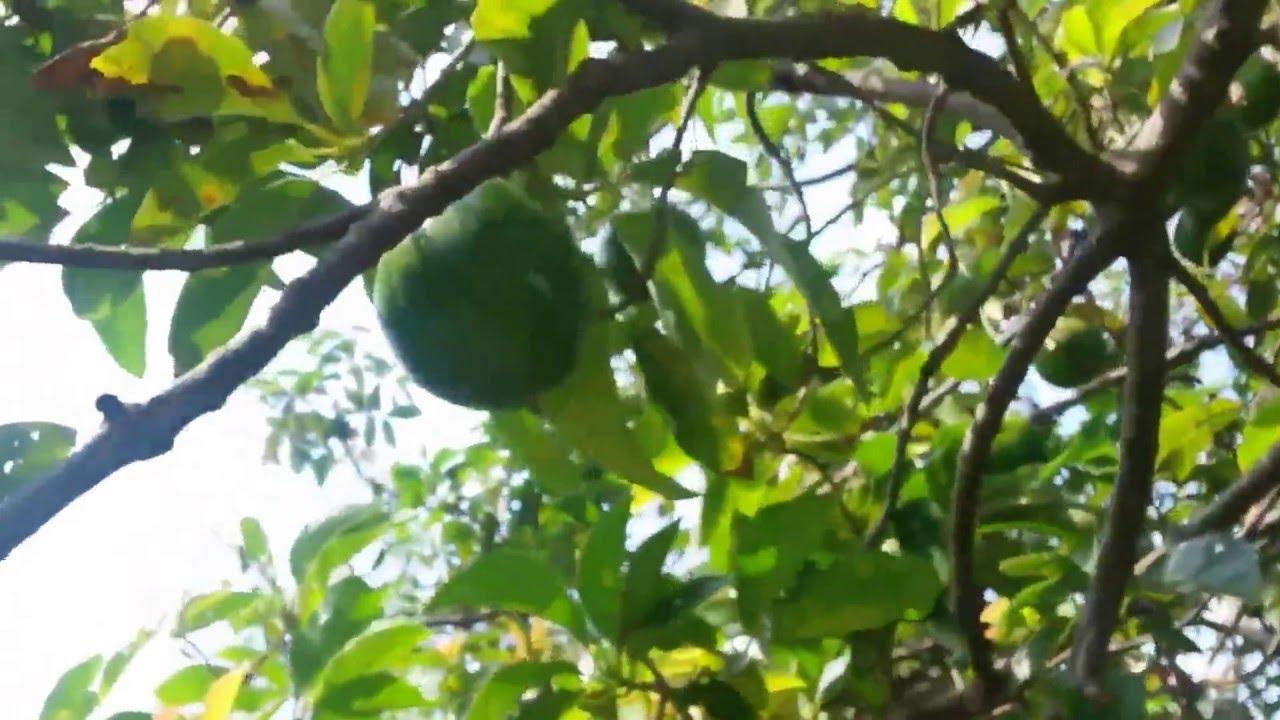 avocado picking home grown in backyard tree youtube