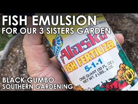 Fertilizing With Fish Emulsion || Black Gumbo