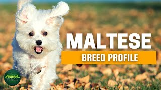 Maltese Dogs 101  The Comforter Dog with Many Names
