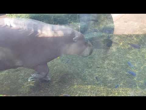 Underwater view of pygmy hippopotamus