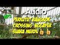 Masteran Perkututbangkok Crossing Perkutut Crossing Suara Ulem Syahdu  Mp3 - Mp4 Download