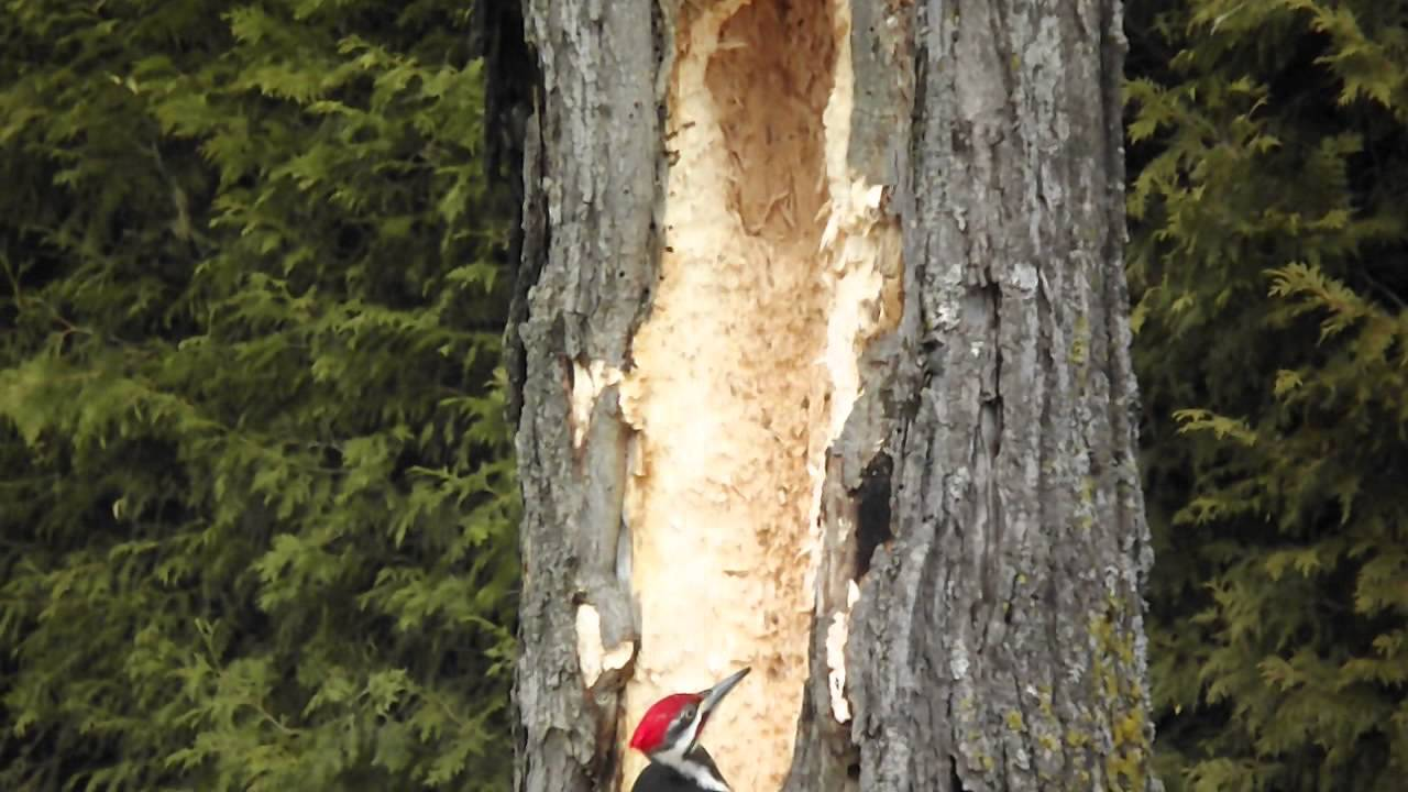 big pilated woodpecker,makes a big hole in a tree - youtube