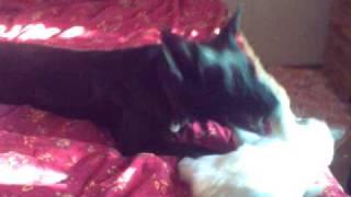 Border Collie X German Shepherd Mix Dog Play Fighting With Ragdoll Cat