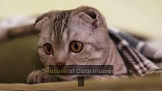 ragamuffin cat breed