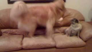 Bailey The Golden Retriever And Shayna The Pug