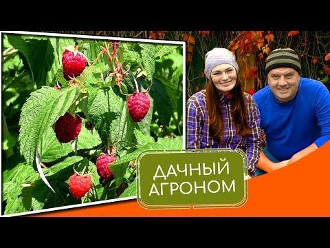 Как правильно посадить саженец малины