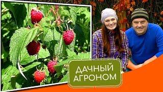 посадка малины - как правильно посадить малину