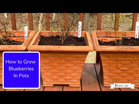 How to Grow Blueberries (in pots or in the garden) - Info from a blueberry farmer in MN