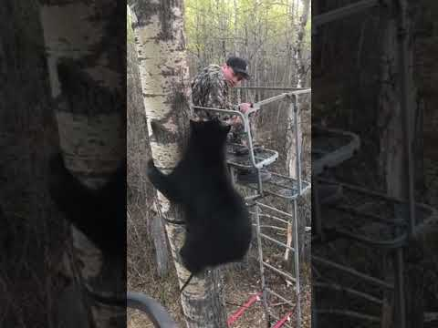 Hunter Experiences Close Encounter With Bear In Tree Stand 989387