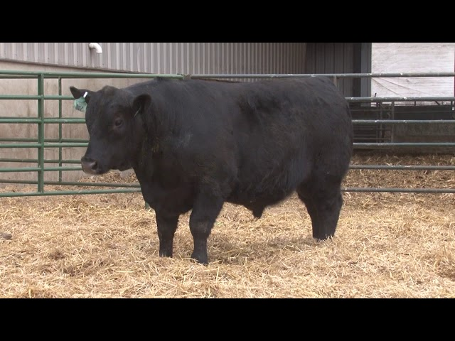 Schiefelbein Angus Farms Lot 375
