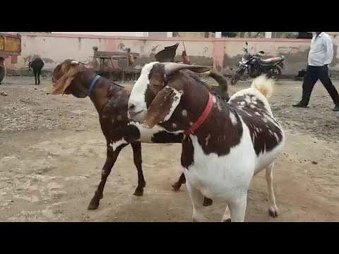 Big Gujri Goats Of Pune