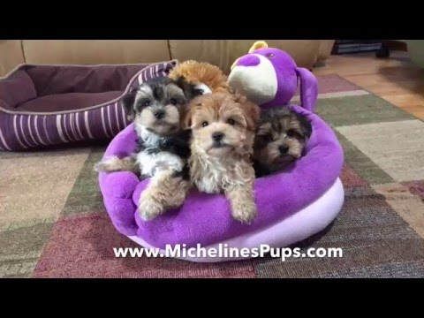 Gorgeous Maltese Yorkie Pups For Sale In Florida - Happy Easter!!!
