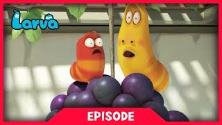 LARVA - GRAPE | Cartoon Movie | Cartoons For Children | Larva Cartoon | LARVA Official