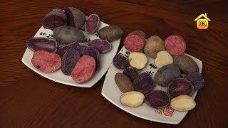Цветной картофель. Обзор сортов и выращивание семенного картофеля из  клубней // FORUMHOUSE