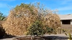Citrus Tree Ash Fly Mesa AZ  480 969 8808 Warner's Tree Surgery 5172018