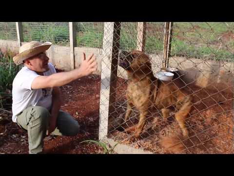 Aggressivity test  Presa Canário  Puppy