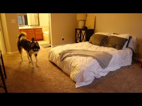 1 YEAR OLD HUSKY LEFT HOME ALONE || GOPRO FOOTAGE