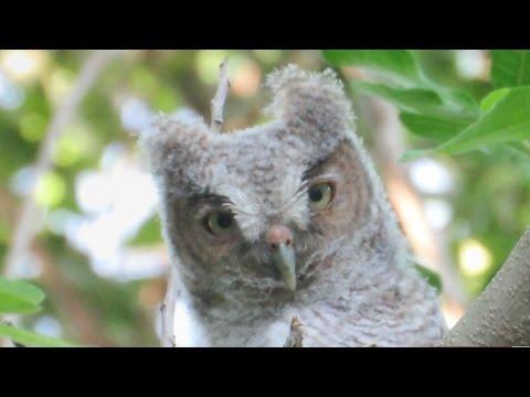 baby eastern screech owl in tree