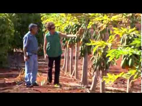 Hawaii Agriculture Research Center - Helping Papaya Farmers