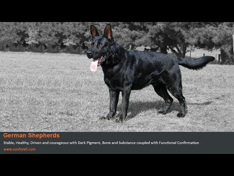 east german ddr shepherd