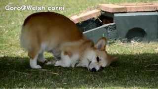 Corgis Part 2 20130609 Corgi Is Rolling. すももちゃん