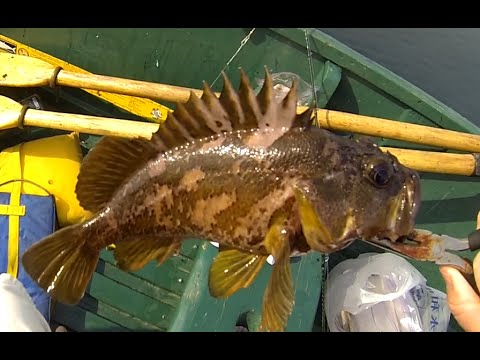 Capitola rock cod mackerel fishing youtube for Rock cod fish