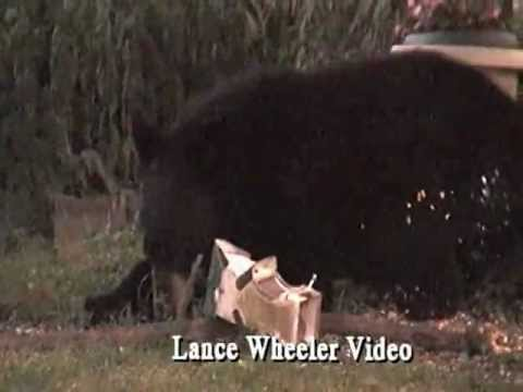 Black Bear Invades Claverack, NY - Lance Wheeler Video